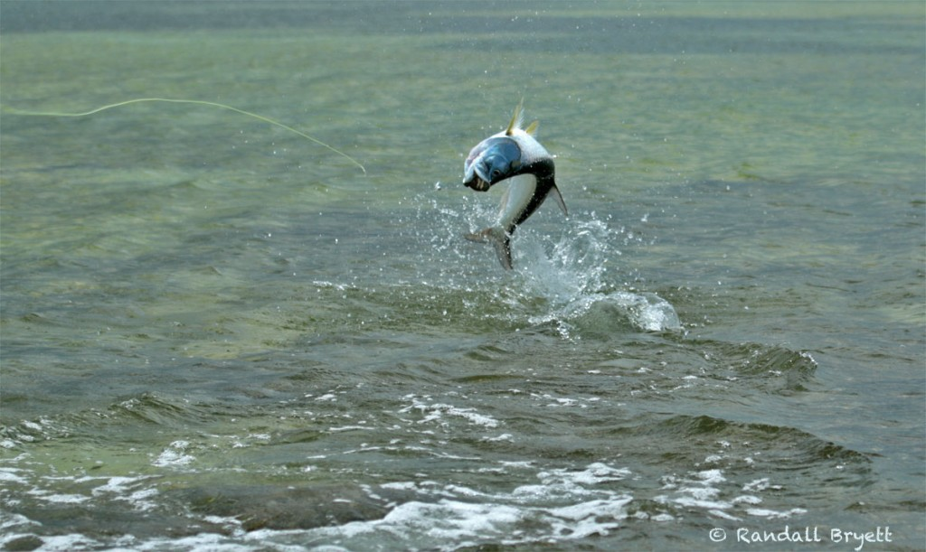 Tarpon throwing the hook