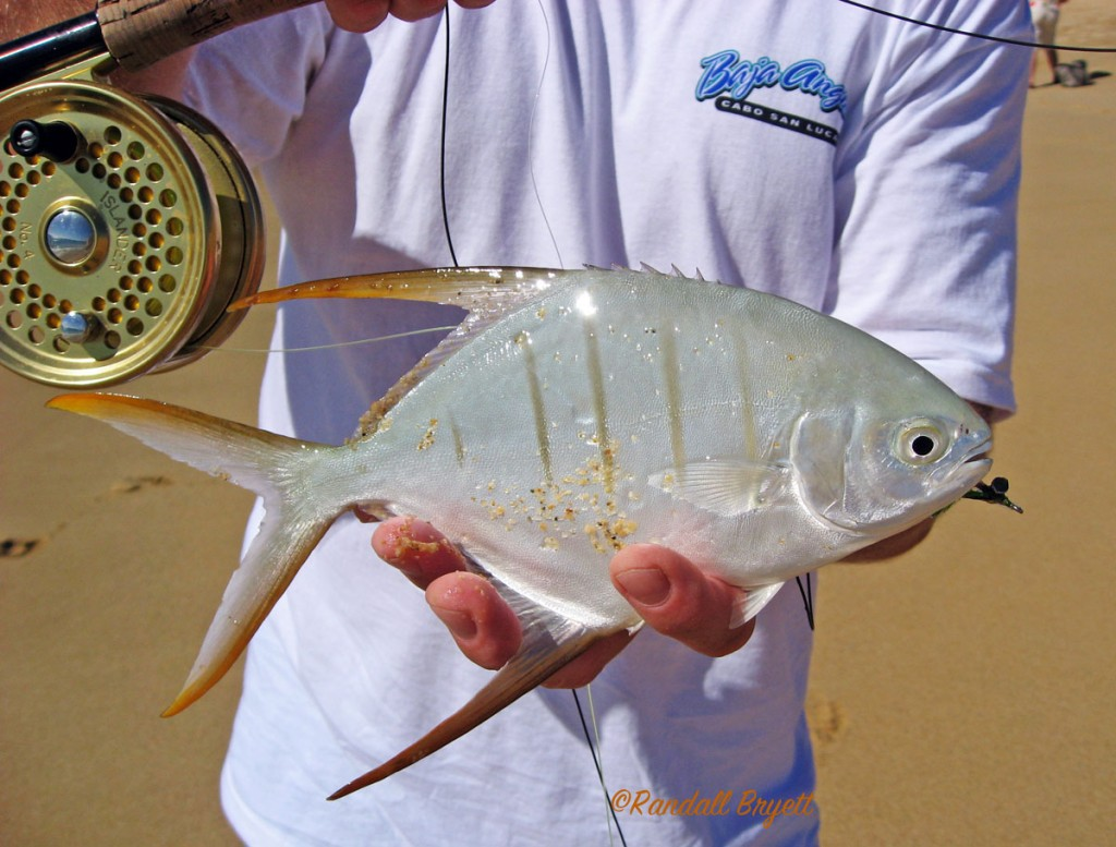 Sometimes the small things in life are gold. Gafftopsail Pompano Cabo San Lucas.